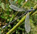 Lyre-tipped Spreadwing - Lestes unguiculatus - male