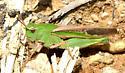 Grasshopper sp. - Chortophaga viridifasciata