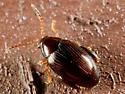 Small Blackish Beetle - Psylliodes