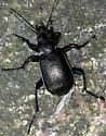 Coleoptera, Carabaeidae - Calosoma sayi - male