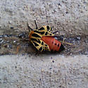 Possible bee or moth? - Apantesis proxima
