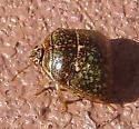 unk olive bug - Megacopta cribraria
