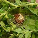 spider in goldenrod - Araneus marmoreus