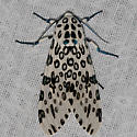 Giant Leopard Moth - Hodges#8146 - Hypercompe scribonia