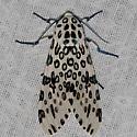 Giant Leopard Moth - Hodges#8146 - Hypercompe scribonia