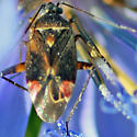 Plant bug - Polymerus basalis