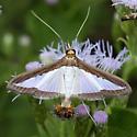 Moth - Diaphania hyalinata