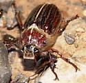 Melolonthini - Polyphylla hammondi - male
