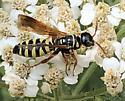 Myzinum, Aurora  - Myzinum quinquecinctum - female
