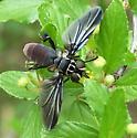 Feather-legged fly - Trichopoda lanipes - male