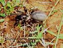Southwestern Trapdoor Spider eucteniza rex? - Eucteniza relata