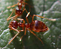 small ants - Prenolepis imparis