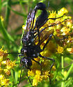Wasps - Eremnophila aureonotata - male - female