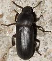Yellow Mealworm Beetle - Tenebrio molitor