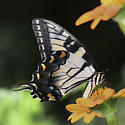 Papilio glaucus - female