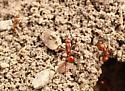 Shining Amazon Ant - Polyergus lucidus
