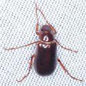 Scarab beetle - Coenonycha hageni