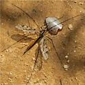 Tipulomorpha 3 - Tipula abdominalis