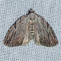 Three-lined Balsa Moth - Balsa tristrigella