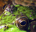 Biting Midges on a frog's head - Forcipomyia fairfaxensis - female
