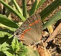 Lycaenid - Calycopis cecrops