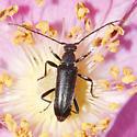 Black Longhorn - Grammoptera haematites