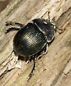 Beetle - Geotrupes splendidus