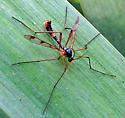 Phantom Crane Fly  - Ptychoptera quadrifasciata - male