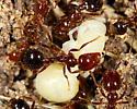 Formicidae, with larva - Solenopsis invicta