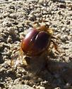 Pleocoma rubiginosa - male