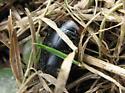 Brown And Black Beetle - Hydaticus aruspex