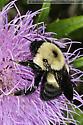 brown-belted bumblebee - Bombus griseocollis