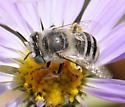 Anthophora (Heliophila) - Anthophora curta - female