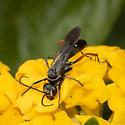 Pompilidae - Spider Wasps - Episyron conterminus