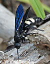 large wasp - Scolia bicincta