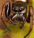 Hammerjawed spider - Zygoballus rufipes - male