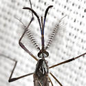 Mosquito - Psorophora howardii - male