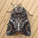 Noctuidae: Egira perlubens - Egira perlubens