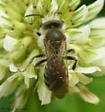 andrenid - Andrena wilkella - male