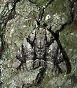 Catocala vidua - Hodges #8792 - Catocala vidua