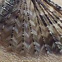 Alucitidae: Alucita montana? - Alucita montana