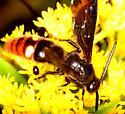 Unrecognized wasp - Scolia dubia - male