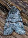 Unknown Moth - Brachylomia cascadia