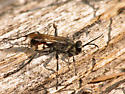Kind of Spider wasp? - Prionyx canadensis