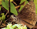 Horace's Duskywing - Erynnis horatius - male