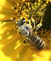 Bee - Dieunomia - male