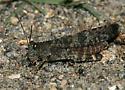 Grasshopper Sp - Trimerotropis verruculata - male