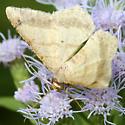 Moth - Psamatodes abydata