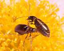 Flea Beetle - Metrioidea brunnea