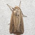 Scirpus Wainscot Moth - Hodges #10455 - Leucania scirpicola